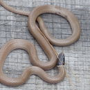 Image of Western Blackhead Snake
