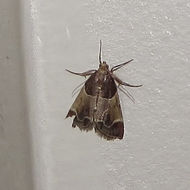 Image of Meal Moth