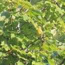 Image of Blackburnian Warbler