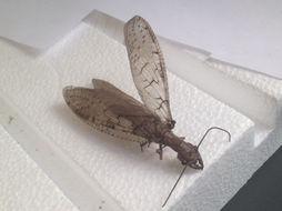 Image of Eastern Dobsonfly