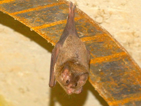 Image of Pallas's Long-tongued Bat