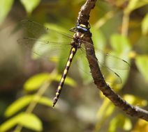 Image of Pacific Spiketail