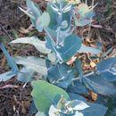 Image of <i>Eucalyptus globulus</i>