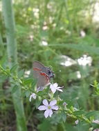 Image of Red-banded Hairstreak