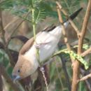 Image of African Silverbill