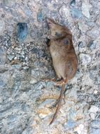 Image of VALAIS SHREW