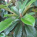 Image of <i>Eriobotrya japonica</i>