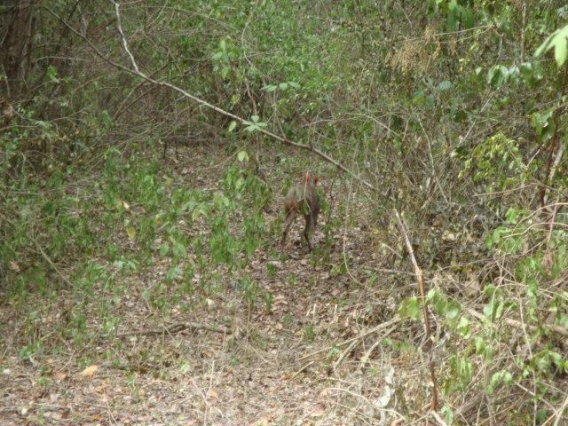 Image of Yucatan Brown Brocket