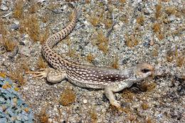 Image of Common Desert Iguana