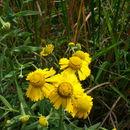 Image of <i>Helenium autumnale</i>