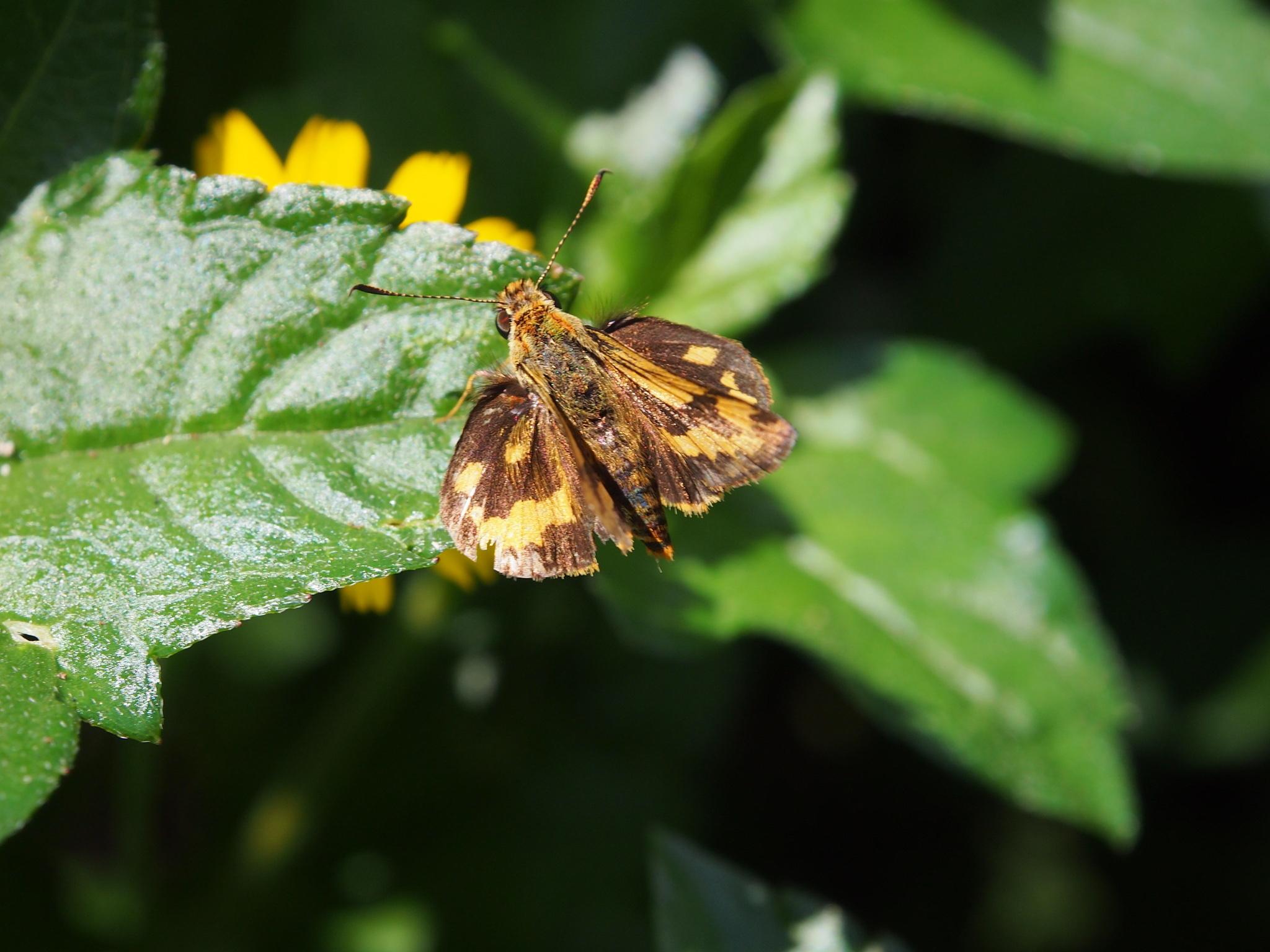 Image of <i>Potanthus pava</i> Fruhstorfer 1911