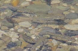 Image of Banded Killifish