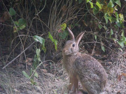 Image of Swamp Rabbit