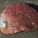 Image of Red abalone