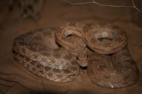 Image of Diadem Snake