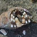 Image of Hairy Hermit Crab