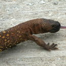 Image of Mexican Beaded Lizard