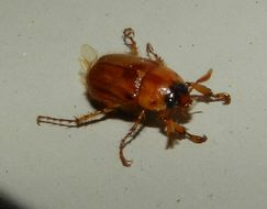 Image of Northern Masked Chafer