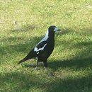 Image of Australasian Magpie