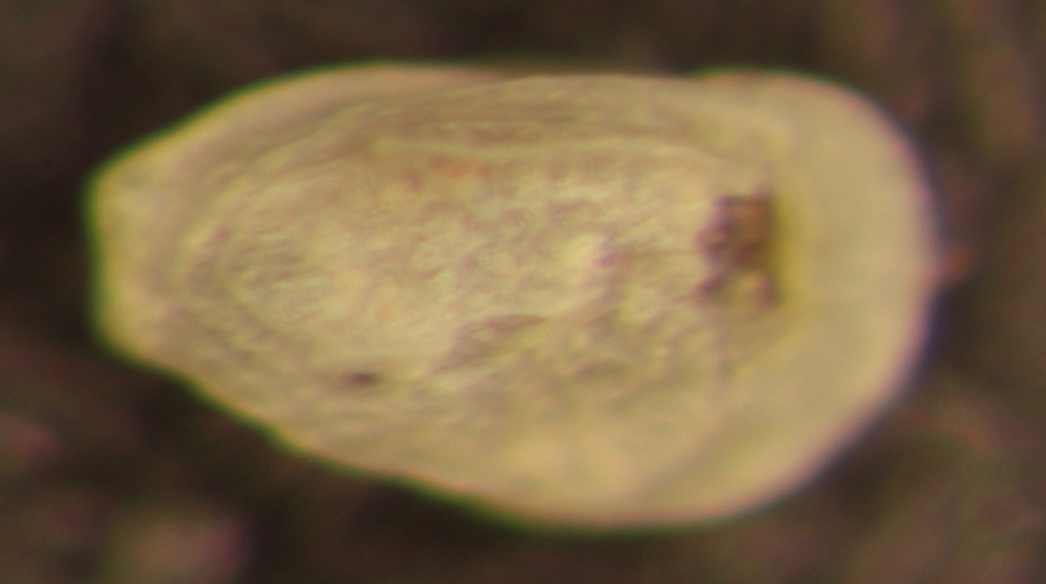 Image of <i>Spinileberis hyalina</i> Watling 1970
