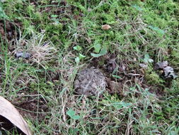 Image of Fowler's Toad