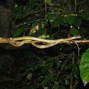 Image of Werner's Green Tree Snake