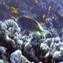 Image of Lyretail Angelfish