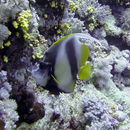 Image of Red Sea Bannerfish