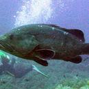 Image of Dusky Grouper