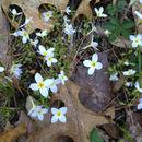 Image of <i>Houstonia caerulea</i>