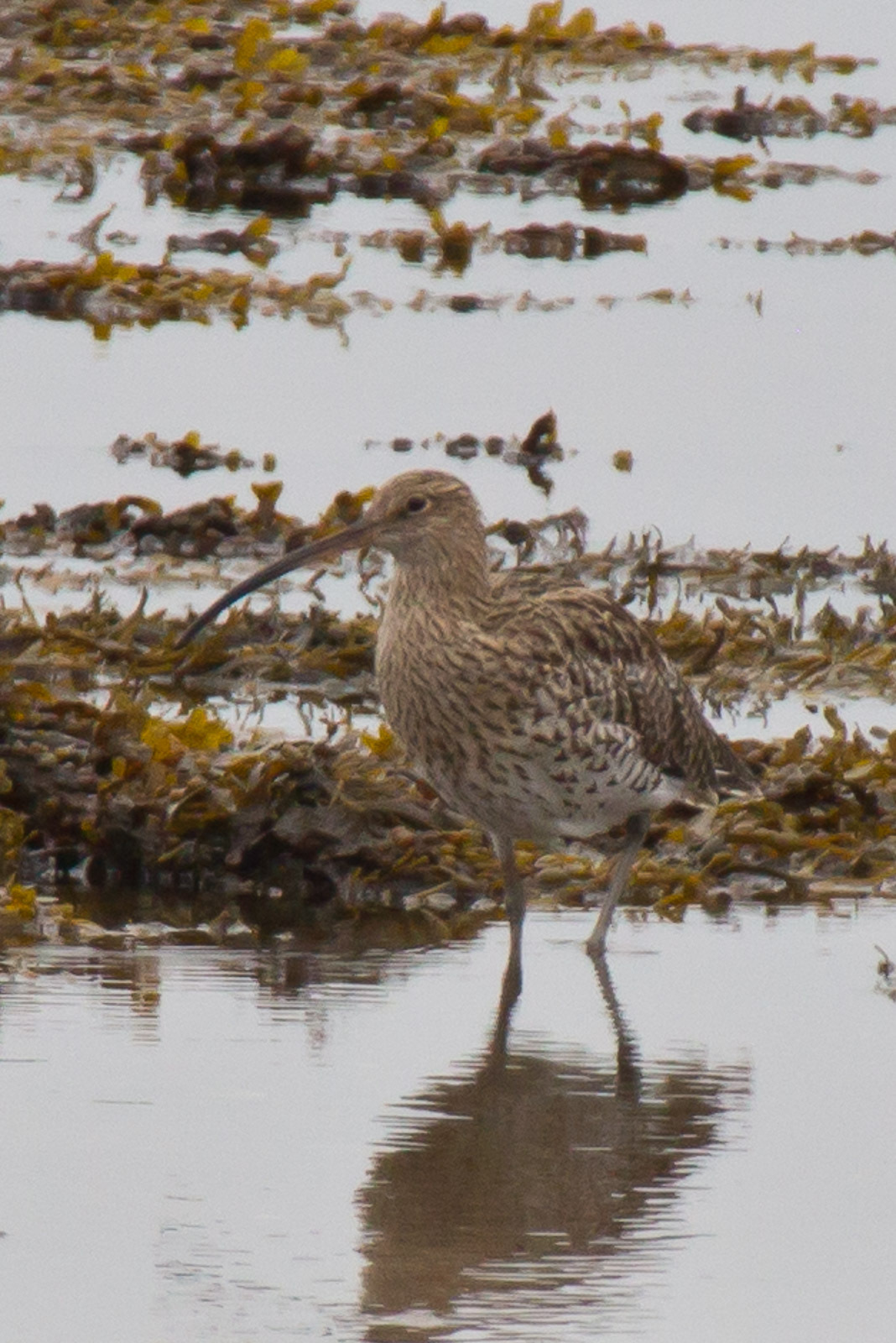 Image of Eurasian curlew