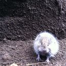 Image of Mexican Vole