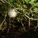 Image of Grey Foam-nest Treefrog