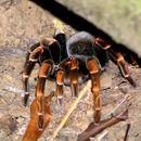 Image of Costa Rica Red-legged Tarantula