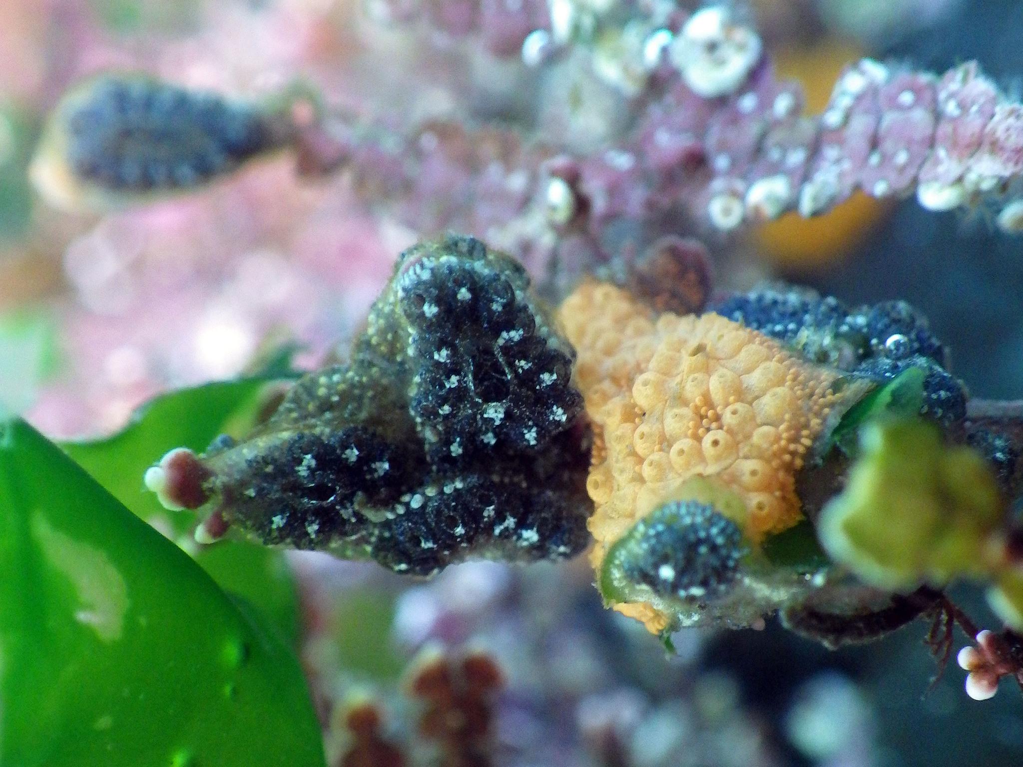 Image of <i>Botryllus schlosseri</i>