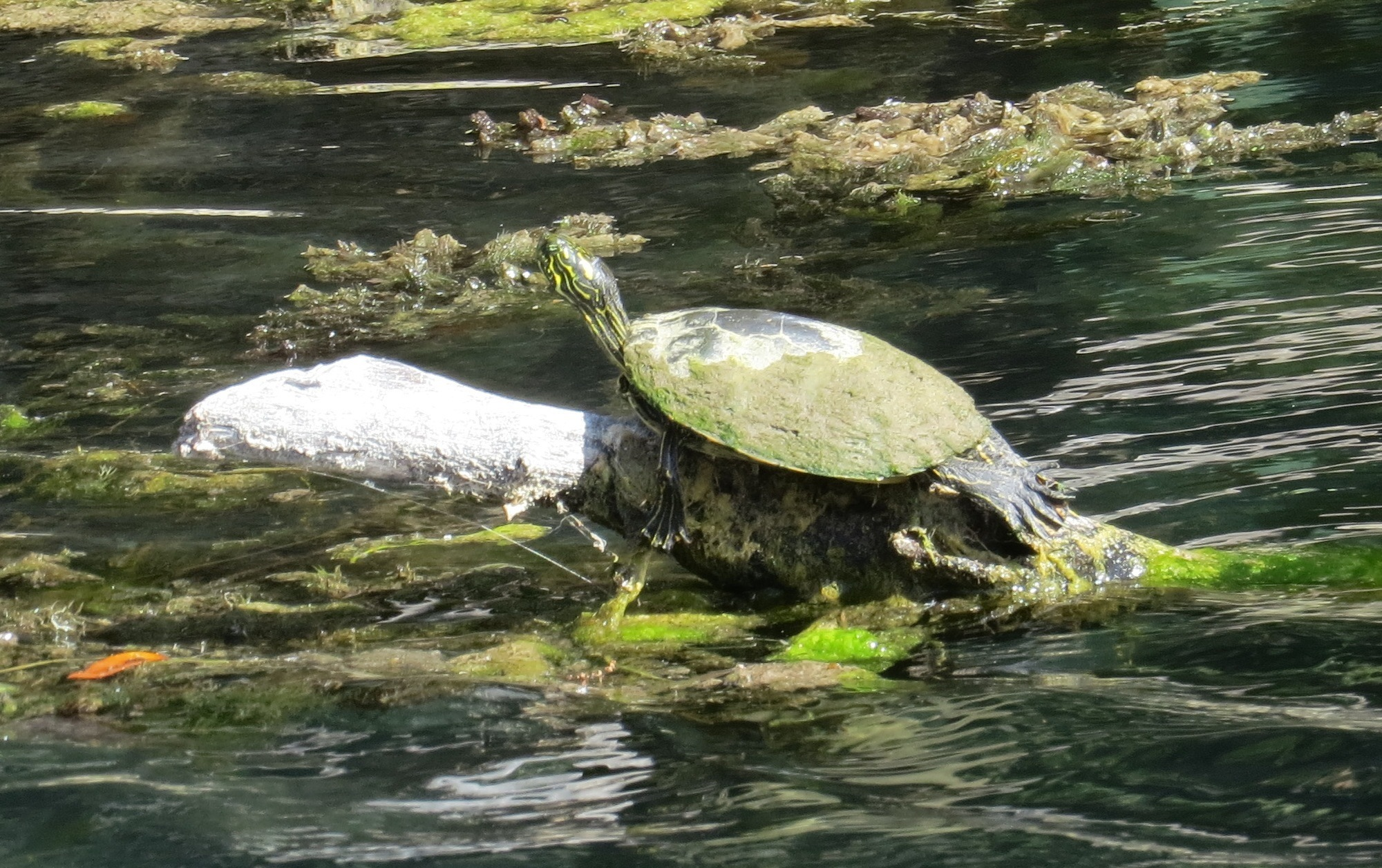 Image of Texas Cooter