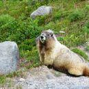 Image of Hoary Marmot