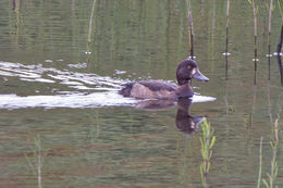 Image of Tufted Duck