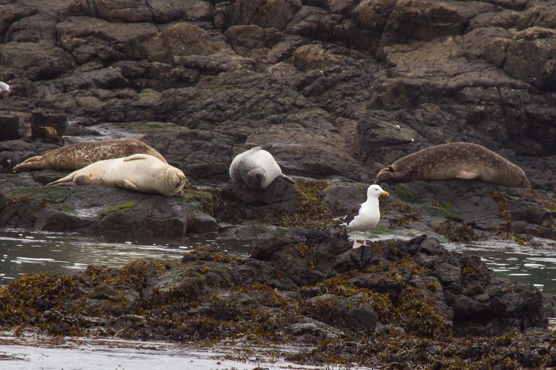 Image of grey seal
