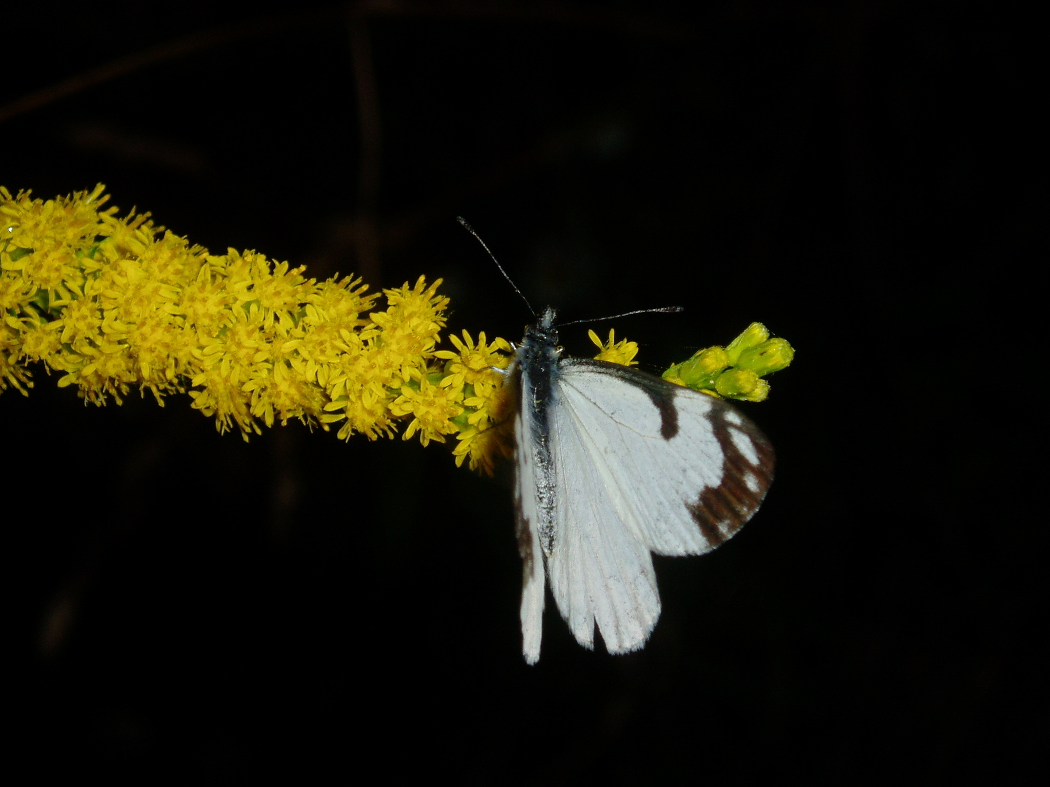 Image of Pine White