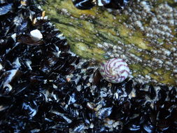 Image of Purple Top Shell