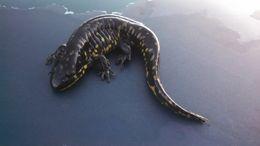 Image of tiger salamander