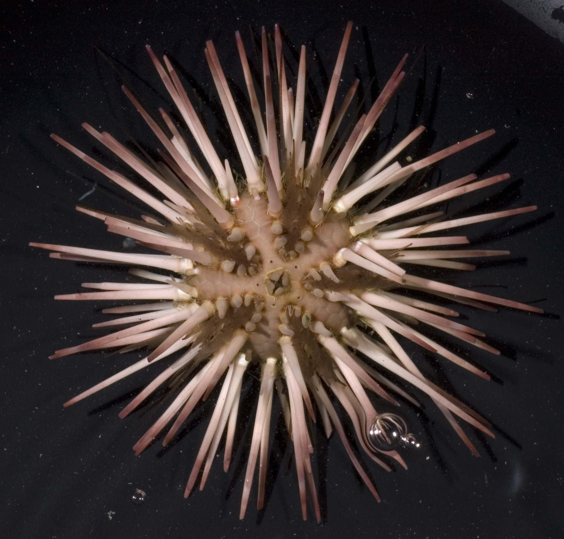 Image of Atlantic purple sea urchin