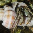Image of Thinstripe Hermit Crab