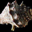 Image of Florida Rock Shell