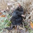 Image of American Shrew Mole