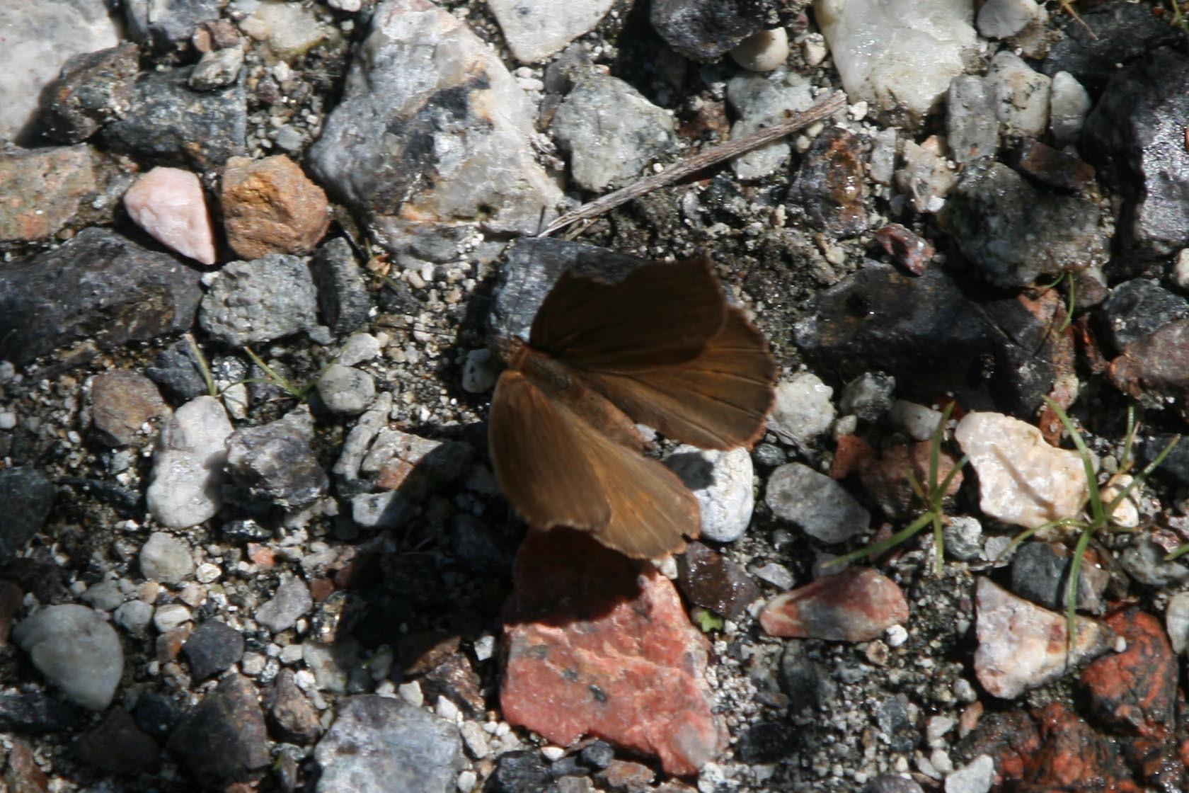 Image of <i>Sallya occidentalium</i>