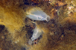 Image of Sea squirt