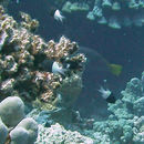 Image of Bicolor damselfish