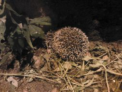 Image of African pygmy (four-toed) hedgehog